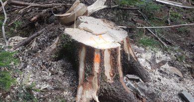 Arbori marcați ilegal și tăiați la Panaci și Dârmoxa, pe terenuri private ori administrate de Ocolul Silvic Dealu Negru. Verificări făcute de Garda Forestieră, la sesizarea unui jurnalist RECORDER