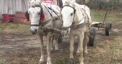 Dosar penal pe numele unui bărbat din Dărmănești care își ologea cu bâta caii înhămați la căruța încărcată cu lemne fără acte